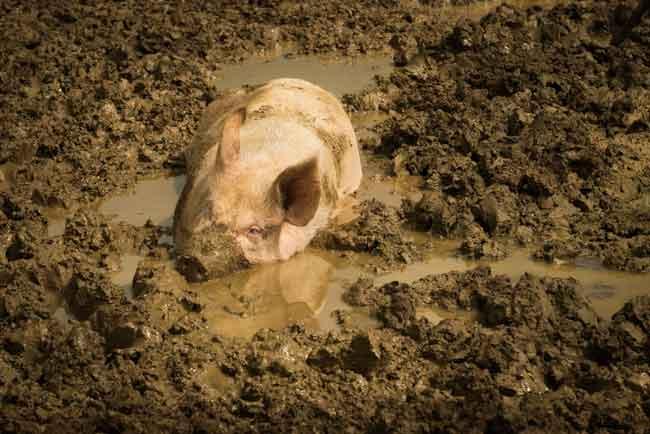 Schwein in der Erde am wühlen