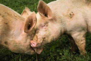 Zwei Schweine am spielen