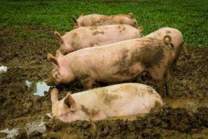 Fünf Schweine in der Erde am wühlen