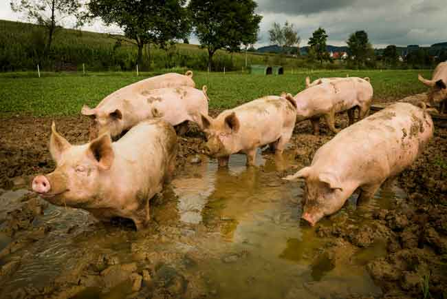 8 Schweine durch das Wasser- Erde Bad